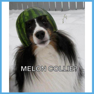a melon collie dog